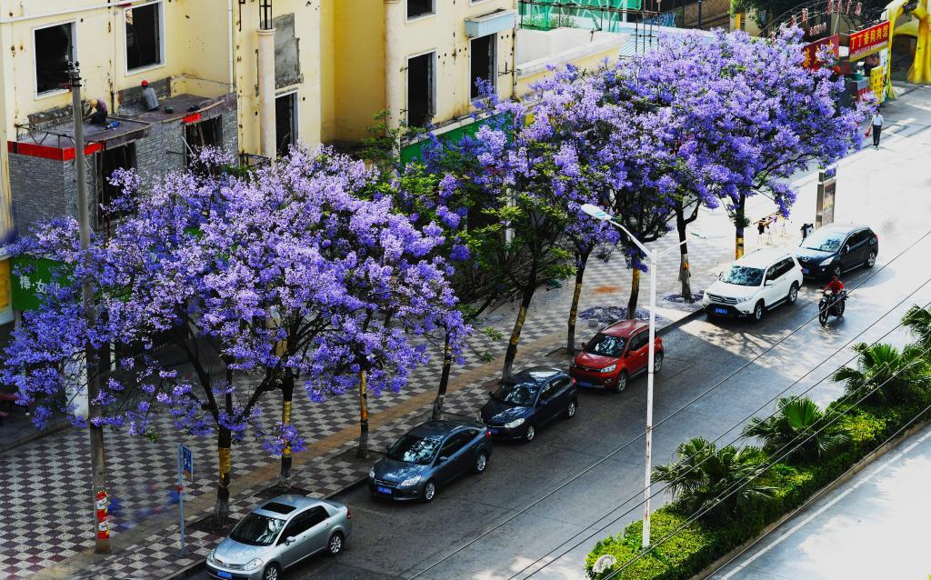 蓝花楹盛开 文山城变紫色花海